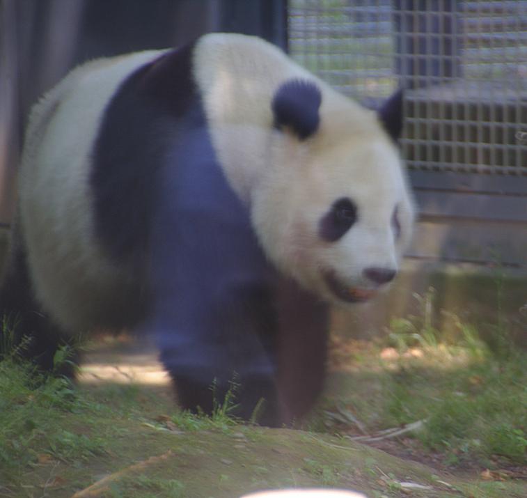 panda del zoo de Ueno en Tokio 2