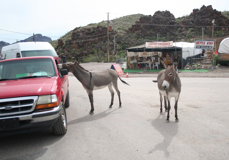burros en Oatman, Arizona 1