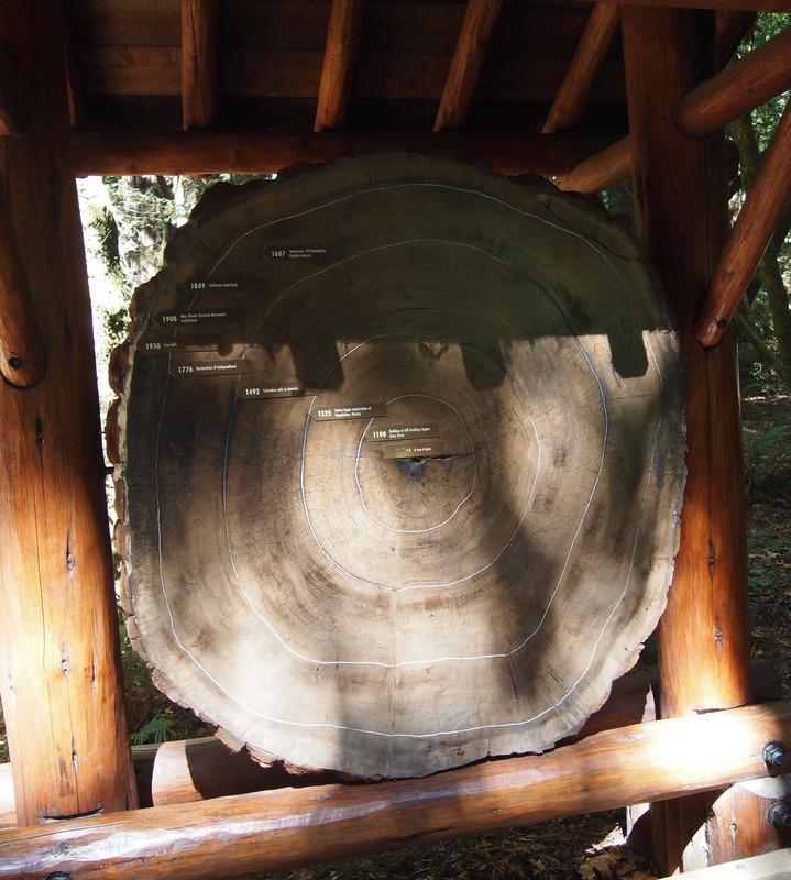 vista transversal del tronco de una sequoia en el Monumento Nacional de Muir Woods