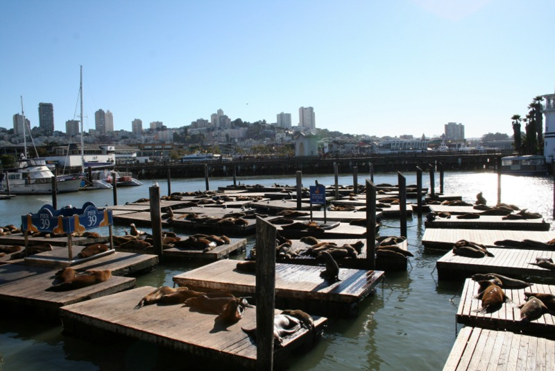 leones marinos en el Pier 39 de San Francisco 1