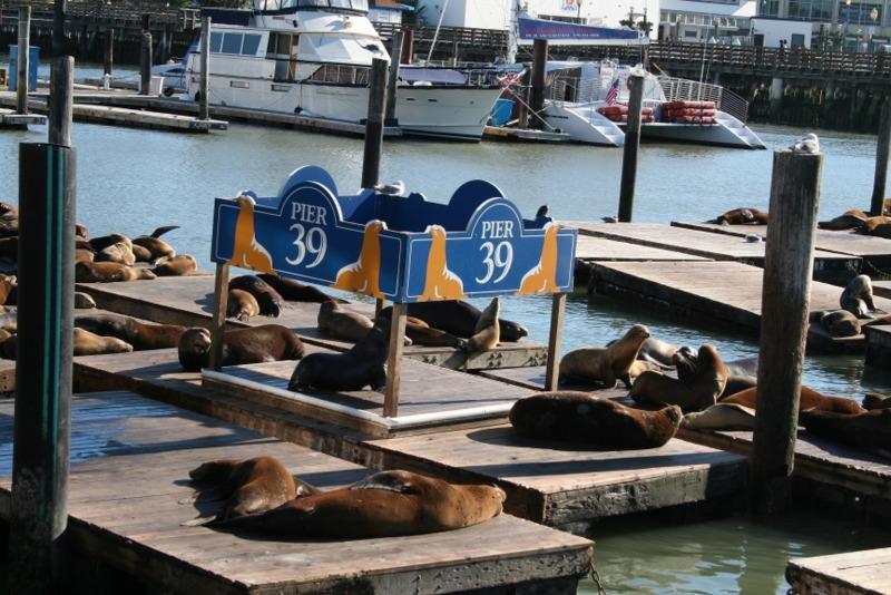 leones marinos en el Pier 39 de San Francisco 2