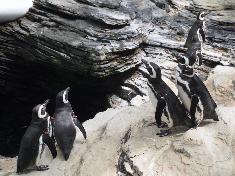 pingüinos en el Oceanário de Lisboa