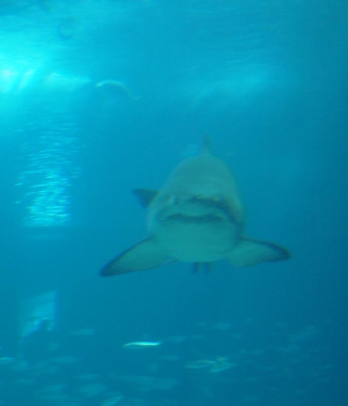 tiburones en el Oceanário de Lisboa