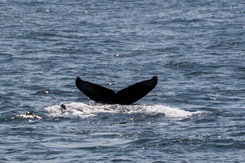 ballena vista desde el barco de Provincetown Cape Cod Massachussets 1