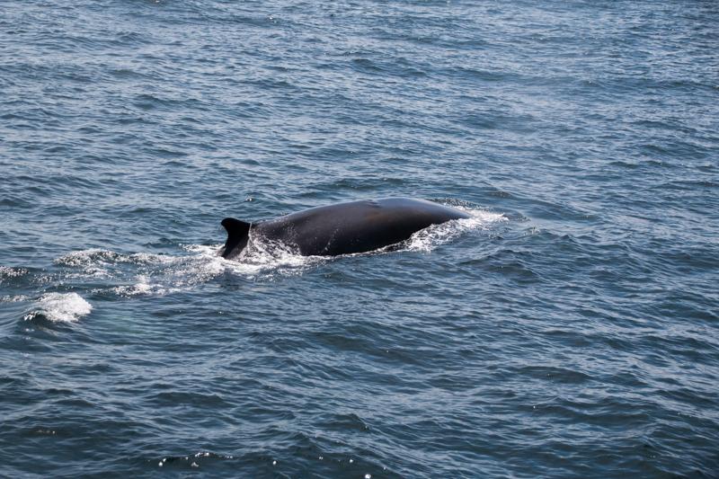 ballena vista desde el barco de Provincetown Cape Cod Massachussets 3