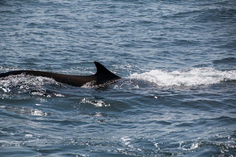 ballena vista desde el barco de Provincetown Cape Cod Massachussets 4