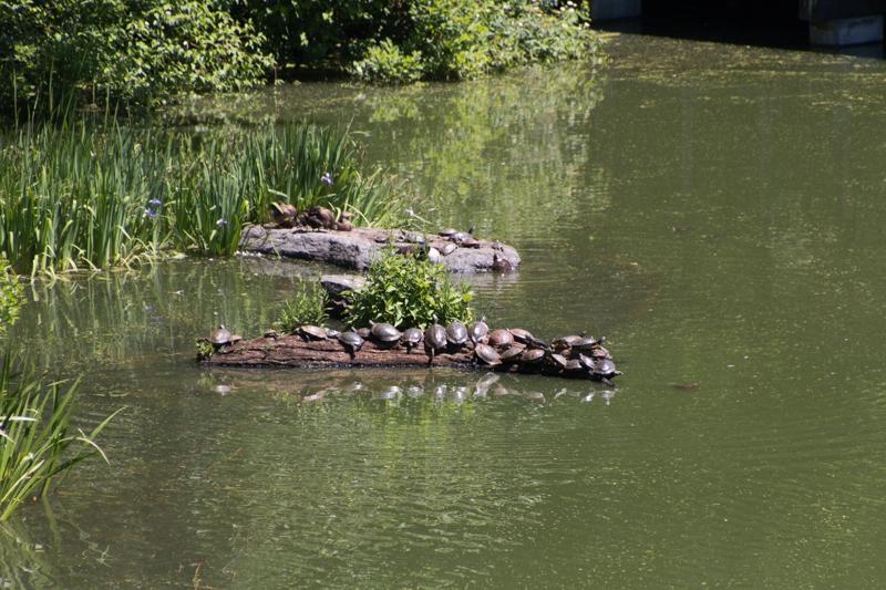 tortugas en el Turtle Pond del Central Park de Nueva York