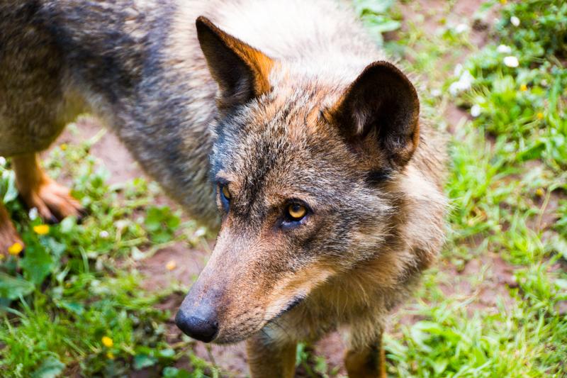 lobos en el cercado de la Casa del Lobo de Belmonte 3
