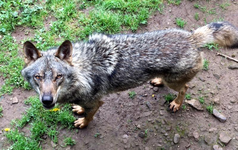 lobos en el cercado de la Casa del Lobo de Belmonte 2