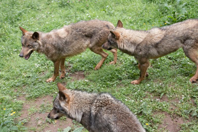 lobos en el cercado de la Casa del Lobo de Belmonte 1