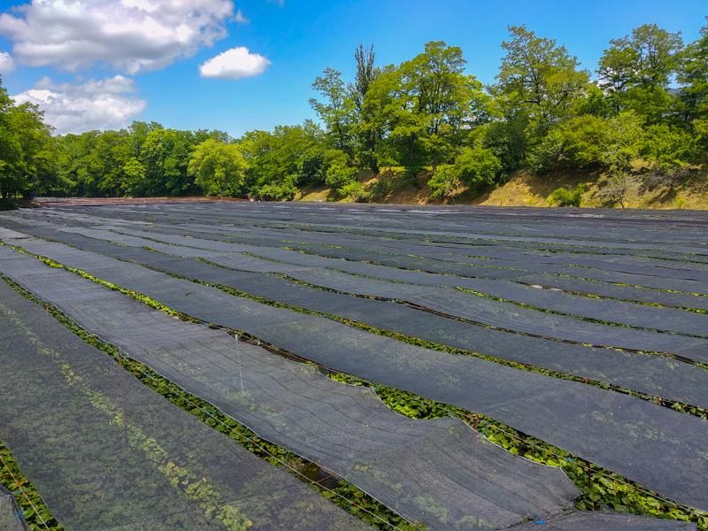 campos de wasabi 2