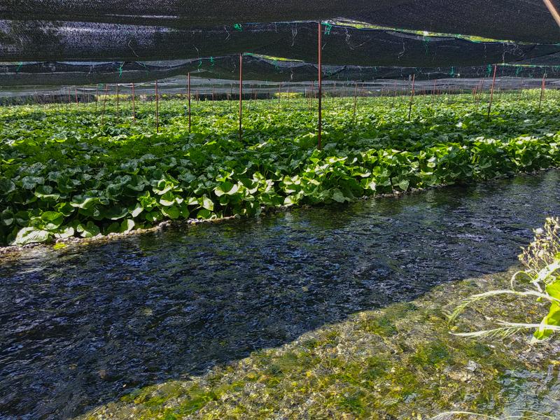 campos de wasabi 3